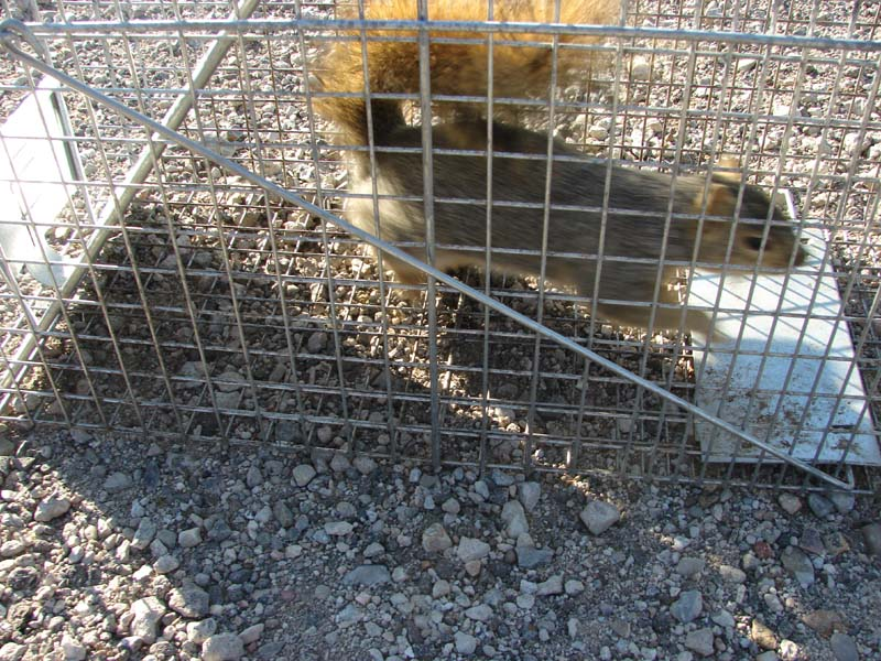 Squirrel Control Squirrel Trapping And Removal