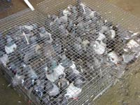 large pigeon trapping